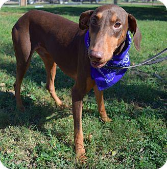 Doberman Pinscher Dog for adoption in McAllen, Texas - Tim