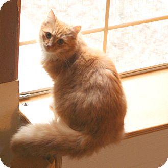 Domestic Longhair Cat for adoption in McCormick, South Carolina - Caleb (barn cat)