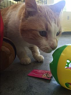 American Shorthair Cat for adoption in Shelbyville, Kentucky - Cheeto
