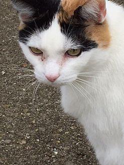 Calico Cat for adoption in Cincinnati, Ohio - ZZ 'Gwen Stefani' courtesy post