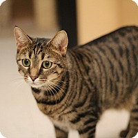 Adopt A Pet :: Kit-Kat - Richmond, VA