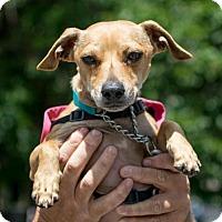 Chihuahua/Dachshund Mix Dog for adoption in NYC, New York - Sky Chiweenie
