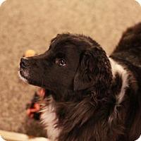 Adopt A Pet :: Corina - Morganville, NJ