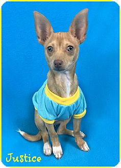 Chihuahua Mix Puppy for adoption in Phoenix, Arizona - Justice
