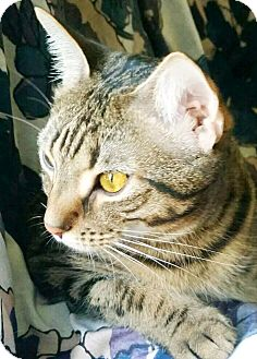 Domestic Shorthair Cat for adoption in Virginia Beach, Virginia - Sunny