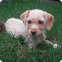 Adopt A Pet :: Nugget - Portland, OR
