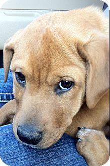 Labrador Retriever/Boxer Mix Puppy for adoption in Somers, Connecticut - Winnie - what a cutie pie!