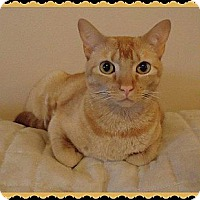 Domestic Shorthair Cat for adoption in Valley Park, Missouri - Marigold