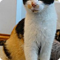 Adopt A Pet :: Calico Kate-Big Bang Bunch - Florence, KY