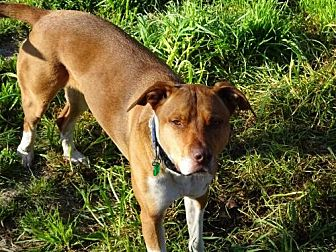 Pit Bull Terrier Mix Dog for adoption in Petaluma, California - Carlie