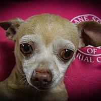 Chihuahua Dog for adoption in El Centro, California - Pepito