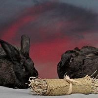 Adopt A Pet :: Umbra - Marietta, GA