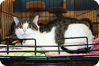 Domestic Shorthair Cat for adoption in Rochester, Minnesota - Boots