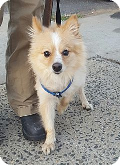 Pomeranian Dog for adoption in Bronx, New York - Mikey