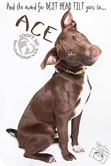 Labrador Retriever Mix Dog for adoption in Newport, Kentucky - Ace