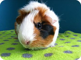 Guinea Pig for adoption in Coral Springs, Florida - Orbit