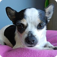 Chihuahua Mix Dog for adoption in Farmers Branch, Texas - Beatrice