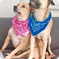 Adopt A Pet :: Coco - House Springs, MO