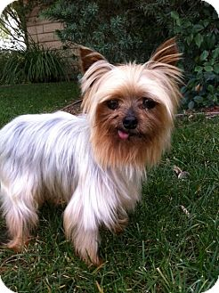 Yorkie, Yorkshire Terrier Dog for adoption in Irvine, California - FREDDIE, tiny 3 lbs