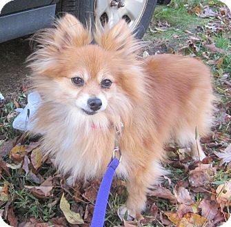 Pomeranian Dog for adoption in Oak Ridge, New Jersey - Glory- LOVES DOGS