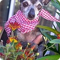 Chihuahua Dog for adoption in San Diego, California - Negrita