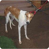 Adopt A Pet :: Inga - Oklahoma City, OK