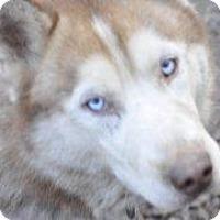 Siberian Husky/Saluki Mix Dog for adoption in Shingleton, Michigan - Boris - SANCTUARY