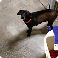 Adopt A Pet :: Wiggles - Saint Clair, MO