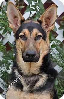 German Shepherd Dog Puppy for adoption in Los Angeles, California - Taylor von Trebbin