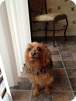 Yorkie, Yorkshire Terrier Dog for adoption in Rockaway, New Jersey - Lucky