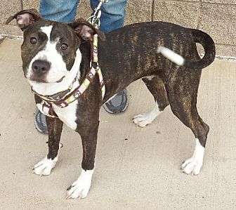 American Pit Bull Terrier/Boxer Mix Dog for adoption in Grand Prairie, Texas - Molly