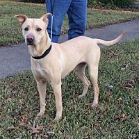 Adopt A Pet :: Dixie Lab - Dallas, TX