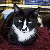 Domestic Shorthair Cat for adoption in Charlotte, North Carolina - A..  Channing