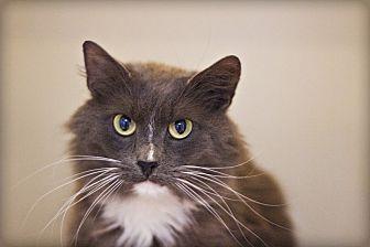Domestic Mediumhair Cat for adoption in Lincoln, Nebraska - Bravo