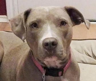 American Pit Bull Terrier Dog for adoption in Denton, Texas - HOPE