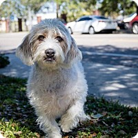 Adopt A Pet :: Snoopy - St. Petersburg, FL