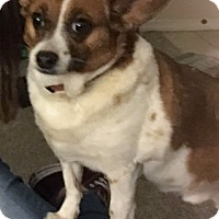 Adopt A Pet :: Scrappy - Chesterfield, MO