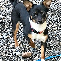 Adopt A Pet :: NINA - Playful, cuddler, loves dogs - Bainbridge Island, WA