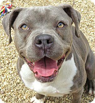 Pit Bull Terrier Mix Dog for adoption in West Babylon, New York - Rosa