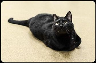 Domestic Shorthair Cat for adoption in Brick, New Jersey - Nugget