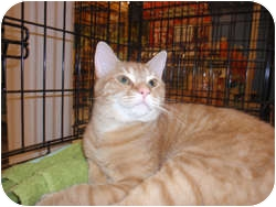 Domestic Longhair Cat for adoption in Loudonville, New York - Rocky