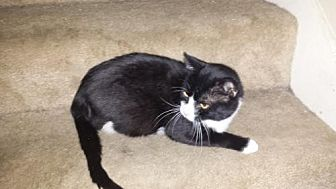 Domestic Mediumhair Cat for adoption in Baton Rouge, Louisiana - COCO (Courtesy Listing)