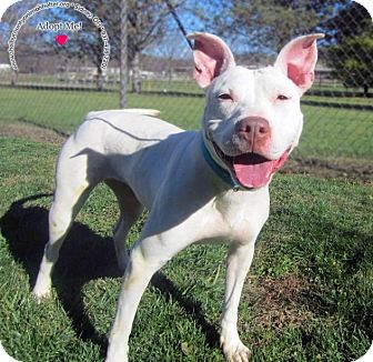 Pit Bull Terrier Mix Dog for adoption in Sidney, Ohio - Starla