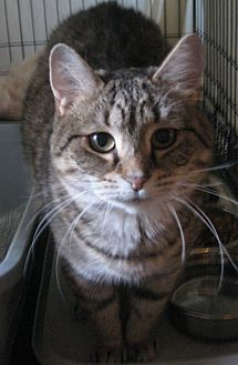 Domestic Shorthair Cat for adoption in Bloomsburg, Pennsylvania - Jezebel