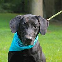 Labrador Retriever Mix Dog for adoption in Brattleboro, Vermont - JT
