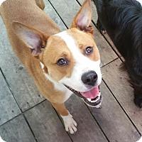 Adopt A Pet :: Abe - Minneapolis, MN
