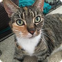 Domestic Shorthair Cat for adoption in Philadelphia, Pennsylvania - TIGGER!