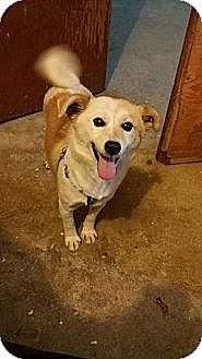 Shiba Inu/Labrador Retriever Mix Dog for adoption in Oakton, Virginia - Snowy - Adoption Pending