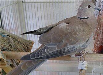 Dove for adoption in Elizabeth, Colorado - Theo