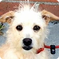 Terrier (Unknown Type, Small) Mix Puppy for adoption in Los Angeles, California - PARIS (video)
